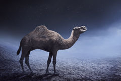Image of camel Royalty Free Stock Photography