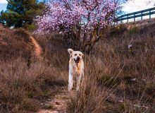 Beautiful nature scene with blooming tree and labrador dog stock photo