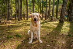 Dog in a mountain river with tall trees stock images