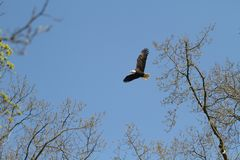 A bald Eagle flying from the nest on a Sunny day royalty free stock photos