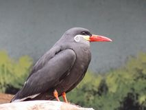 Incan Tern Profile. Image captures this little mustached bird. Thought it was a beautiful, and unique bird.The Inca tern Larosterna inca is a tern in the family royalty free stock photography