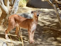 Caracal Cat Posing Under The Shade. An image of a caracal cat posing under the shade of a tree Stock Images