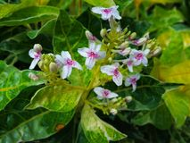 Tropical Caricature plant blooms with little white and magenta flowers. Image of Caricature leaves in great vibrance foliage color. Blooms with 4 petals white Royalty Free Stock Photography