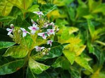 Tropical Caricature plant blooms with little white and magenta flowers. Image of Caricature leaves in great vibrance foliage color. Blooms with 4 petals white Stock Photos