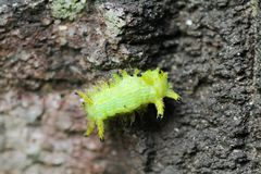 Image of a caterpillar bug on green leaves. Caterpillar bug on green leaves. Insect Animal royalty free stock image
