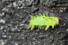 Image of a caterpillar bug on green leaves. Caterpillar bug on green leaves. Insect Animal royalty free stock photos
