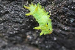 Image of a caterpillar bug on green leaves. Caterpillar bug on green leaves. Insect Animal stock photography