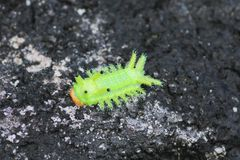 Image of a caterpillar bug on green leaves. Caterpillar bug on green leaves. Insect Animal stock images