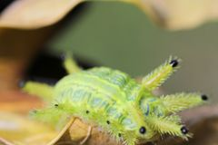 Image of a caterpillar bug on green leaves. Caterpillar bug on green leaves. Insect Animal stock photos