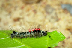 Image of a caterpillar bug on green leaves. Stock Images