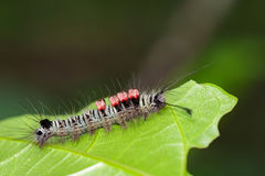 Image of a caterpillar bug on green leaves. Stock Photos