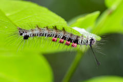Image of a caterpillar bug on green leaves. Royalty Free Stock Photography