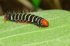 Image of a caterpillar bug on green leaves. Royalty Free Stock Photo