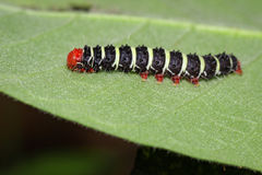 Image of a caterpillar bug on green leaves. Insect. Image of a caterpillar bug on green leaves. Insect Animal stock photography