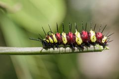 Image of a Caterpillar leopard lacewingCethosis cyane euanthes. On a branch. Insect. Animal stock photo