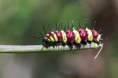 Image of a Caterpillar leopard lacewingCethosis cyane euanthes. On a branch. Insect. Animal stock photos