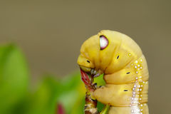 Image of Caterpillar Oleander Hawk-moth Daphnis nerii. Royalty Free Stock Photos