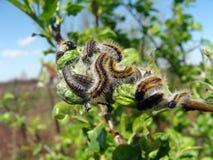 Image of caterpillars Stock Photos