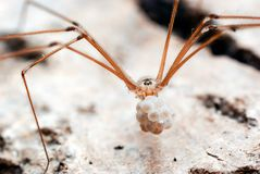 Cellar Spider Carrying Eggs in its Jaws royalty free stock image