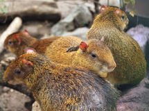 Image of Central American agouti at zoo Royalty Free Stock Image