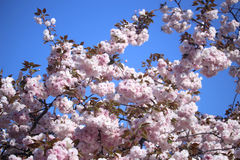 An image of Cherry blossoms Stock Images