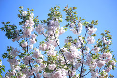 An image of Cherry blossoms. Pink Cherry blossoms on tree in Japan Royalty Free Stock Image