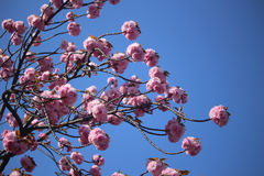 An image of Cherry Blossoms tree Royalty Free Stock Photo