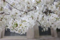 An image of Cherry Tree. At Yasukuni Shrine Stock Photography