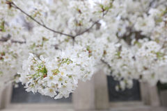 An image of Cherry Tree. At Yasukuni Shrine Royalty Free Stock Images