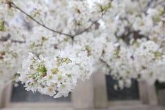 An image of Cherry Tree. At Yasukuni Shrine Royalty Free Stock Photo