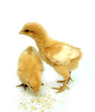 Image of chick Royalty Free Stock Photo