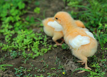 The image of a chick looking for food Royalty Free Stock Photo