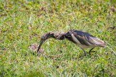 Image of Chinese Pond Heron Ardeola bacchus Stock Image