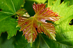 Image close-up leaves of the vine Royalty Free Stock Image