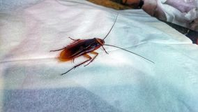Cockroach compelling girls. Image cockroach big Brown color Royalty Free Stock Photography