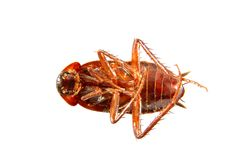 Image of a cockroach crawling insect pest Royalty Free Stock Images