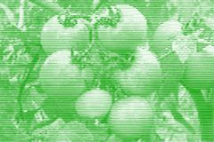 Image collage of tomatoes on a branch from horizontal lines and. Paths of variable thickness color green on white background. Vector illustration Royalty Free Stock Images