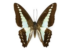 Image of Common Bluebottle Butterfly Graphium sarpedon Stock Images