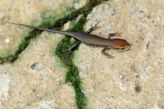 Image of a common garden skink Scincidae on the floor. Reptile Royalty Free Stock Photo