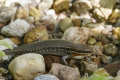 Image of a common garden skink Scincidae on the rock. Stock Photography