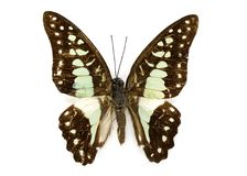 Image of Common Jay Butterfly Graphium dosan. Stock Image