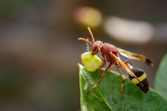 Image of Common Paper Wasp / Ropalidia fasciata eating prey. Stock Image