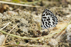 Image of common pierrot butterfly on the ground. Insect Animal Royalty Free Stock Photo
