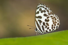 Image of common pierrot butterfly on nature background. Insect Stock Photography
