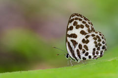 Image of common pierrot butterfly on nature background. Insect Stock Image