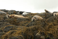 Image of common seals relaxing. Scotland Stock Photo