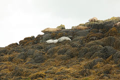 Image of common seals relaxing. Scotland Royalty Free Stock Photo