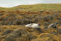 Image of common seals relaxing. Scotland Stock Photos