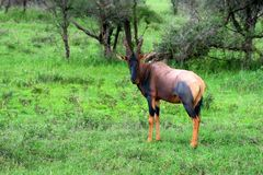 Common tsessebe grazes in savannah. Image of of a Common tsessebe or Damaliscus lunatus lunatus in Ngorongoro national park in Tanzania Stock Photo