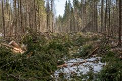 Image of coniferous forest after felling Royalty Free Stock Image